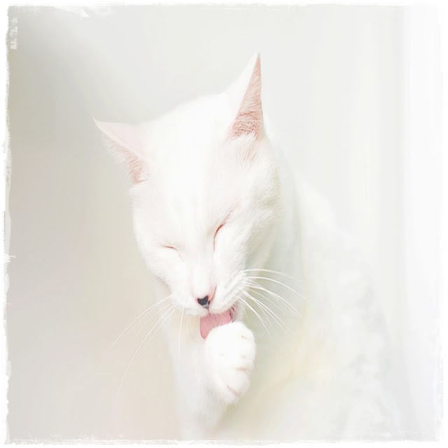 Cara Grooming Kucing Sendiri Di Rumah
