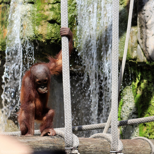 baby orangutan holding onto a rope in front of a waterfall
