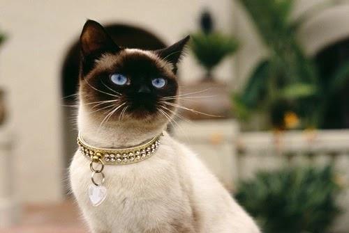 كل المعلومات عن القط سيامي