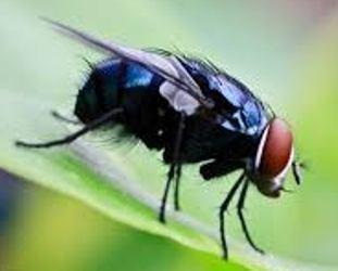 cara membuat alat penangkap lalat