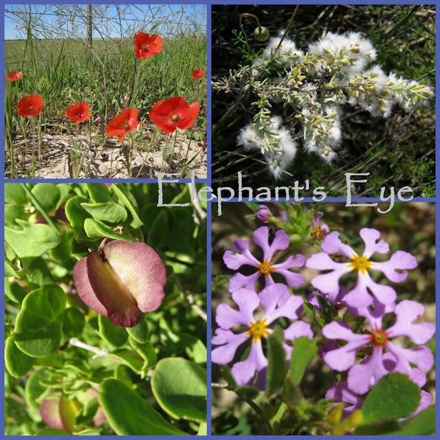 Escaped poppy, wild rosemary Zygophyllum, Zaluzianskya September 2010