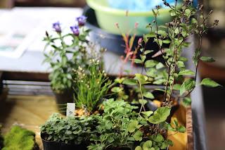 山野草盆栽教室睦草で使う山野草苗(リンドウ、キヨスミシラヤマギク、イトラッキョウ他)