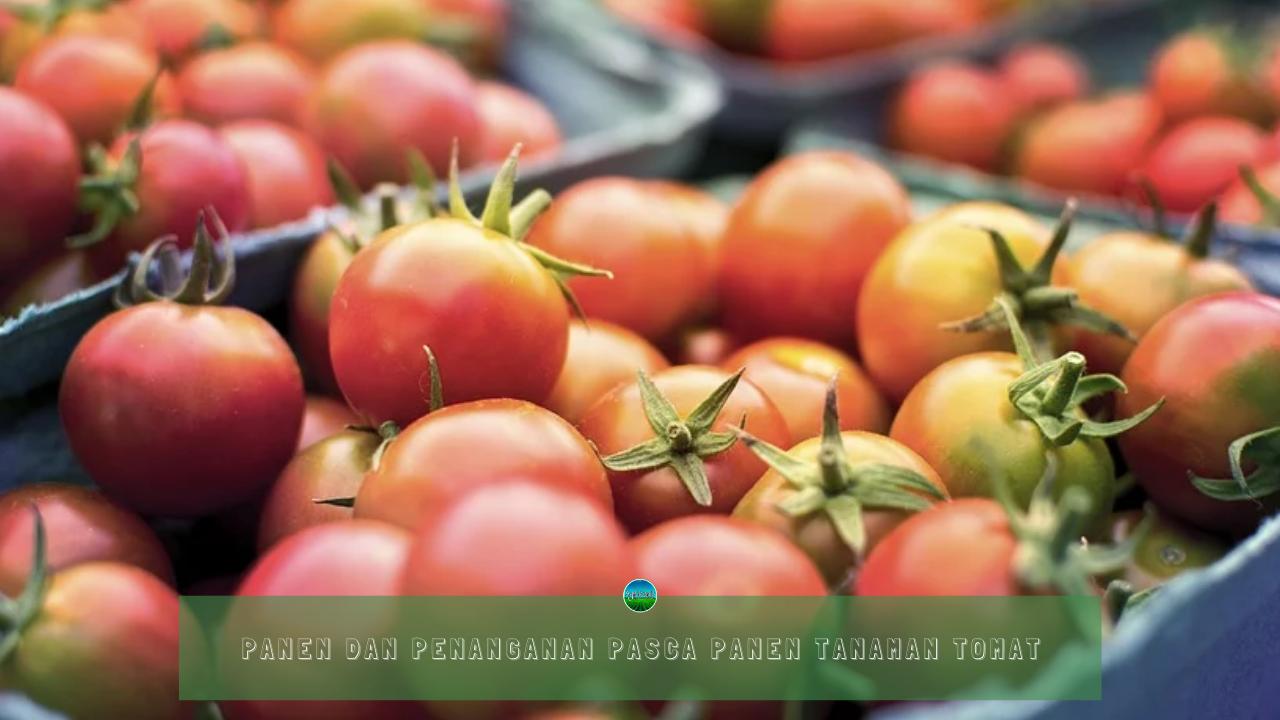Panen dan Penanganan Pasca Panen Tanaman Tomat