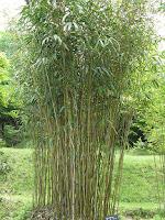 Bambu en los Bosques Comestibles