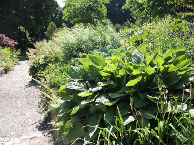 June Blake's Garden Beet mit Funkien