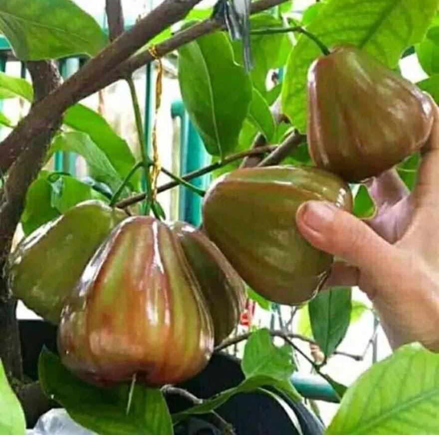 Bibit jambu king rose cepat buah bisa COD Surabaya