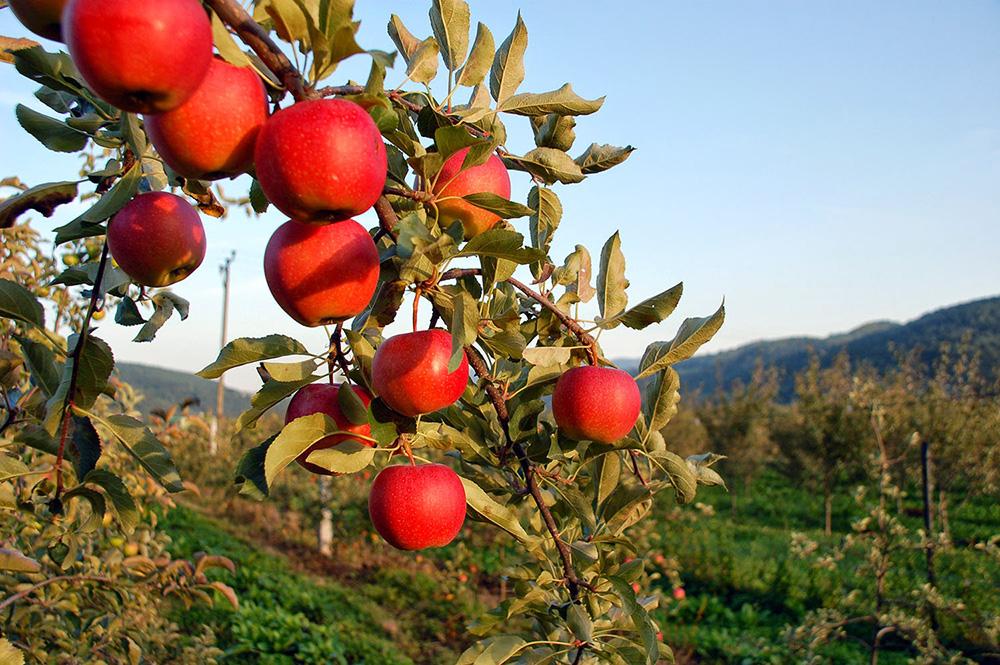 cydr z jabłek