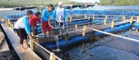 Cara Budidaya Ikan Kerapu di KARAMBA JARING APUNG air tawar