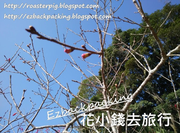 太平山山頂賞櫻花