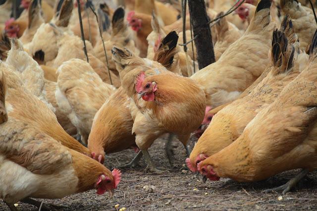 Virus Flu Burung Mulai Muncul di Negara-negara Afrika.lelemuku.com.jpg