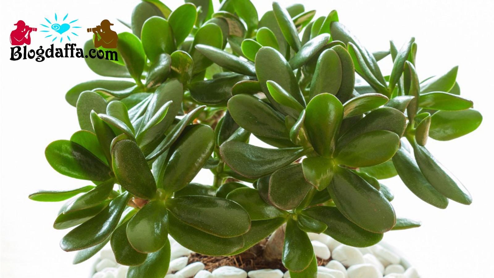 Cara Merawat Jade Plant atau Pohon Uang