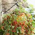 5 Fruits And Vegetables You Can Grow In Hanging Planters