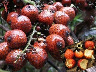 buah manau