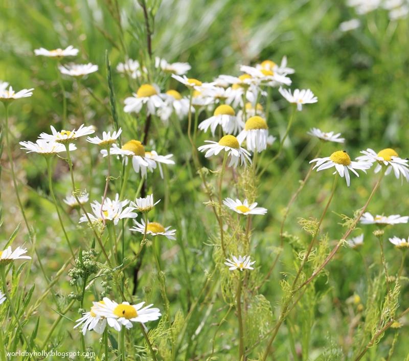 rumianek, kwiat polny, zioło