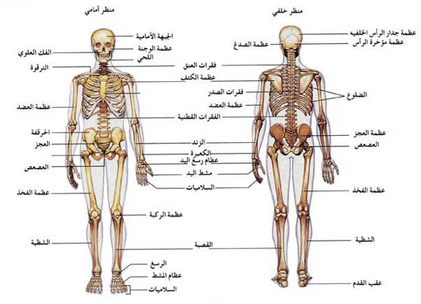 أهمية الهيكل العظمي - مكونات الهيكل العظمي - أنواع العظام