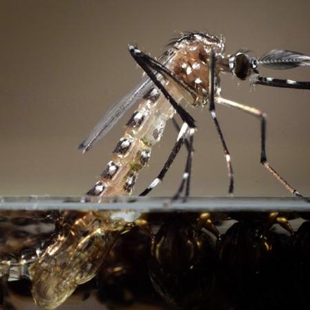 Fiocruz afirma que RJ vive epidemia de Chikungunya - Doençoas Tropicais