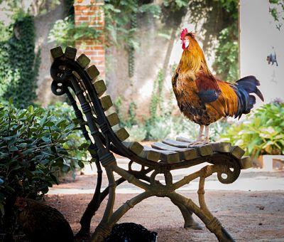 Ayam berdiri diatas kursi - Manfaat Daun Sirih Untuk Ayam