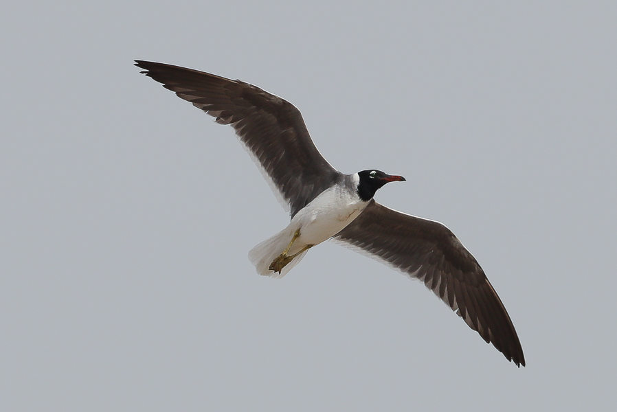 White-eyed Gull