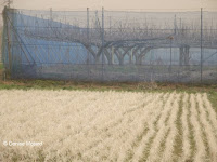 Rice field in Naruse, Machida Japan, during a yellow dust storm from China