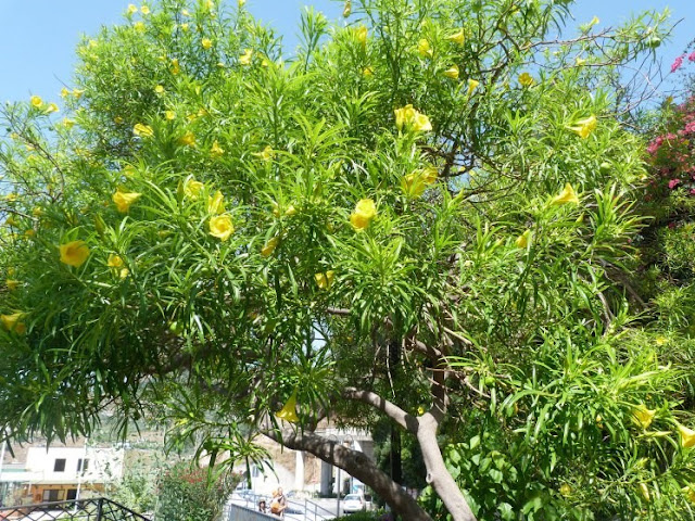 Thevetia peruviana