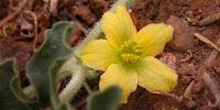 flor de la coloquíntida