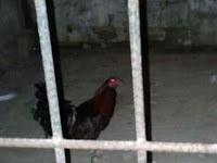 Gara-gara Sering Berkokok, Ayam Jantan Ini Dipenjara