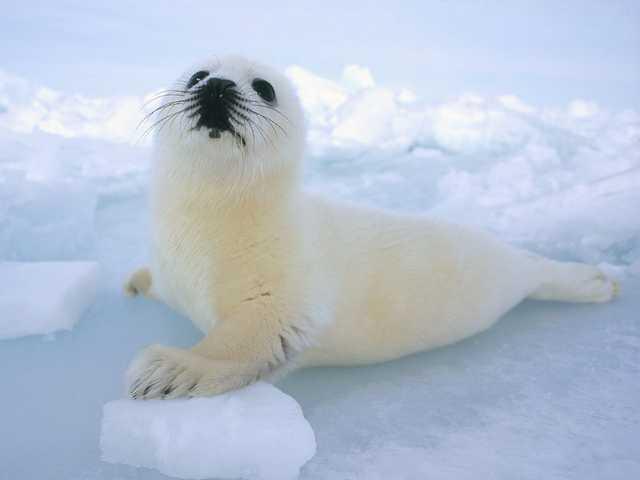 animals snow cold polar arctic cool living animal seals stunning seal harp winter cute canada ice sea mammal pict very