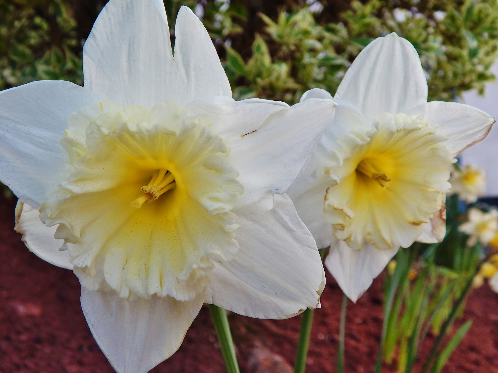 Paignton - Daffodils