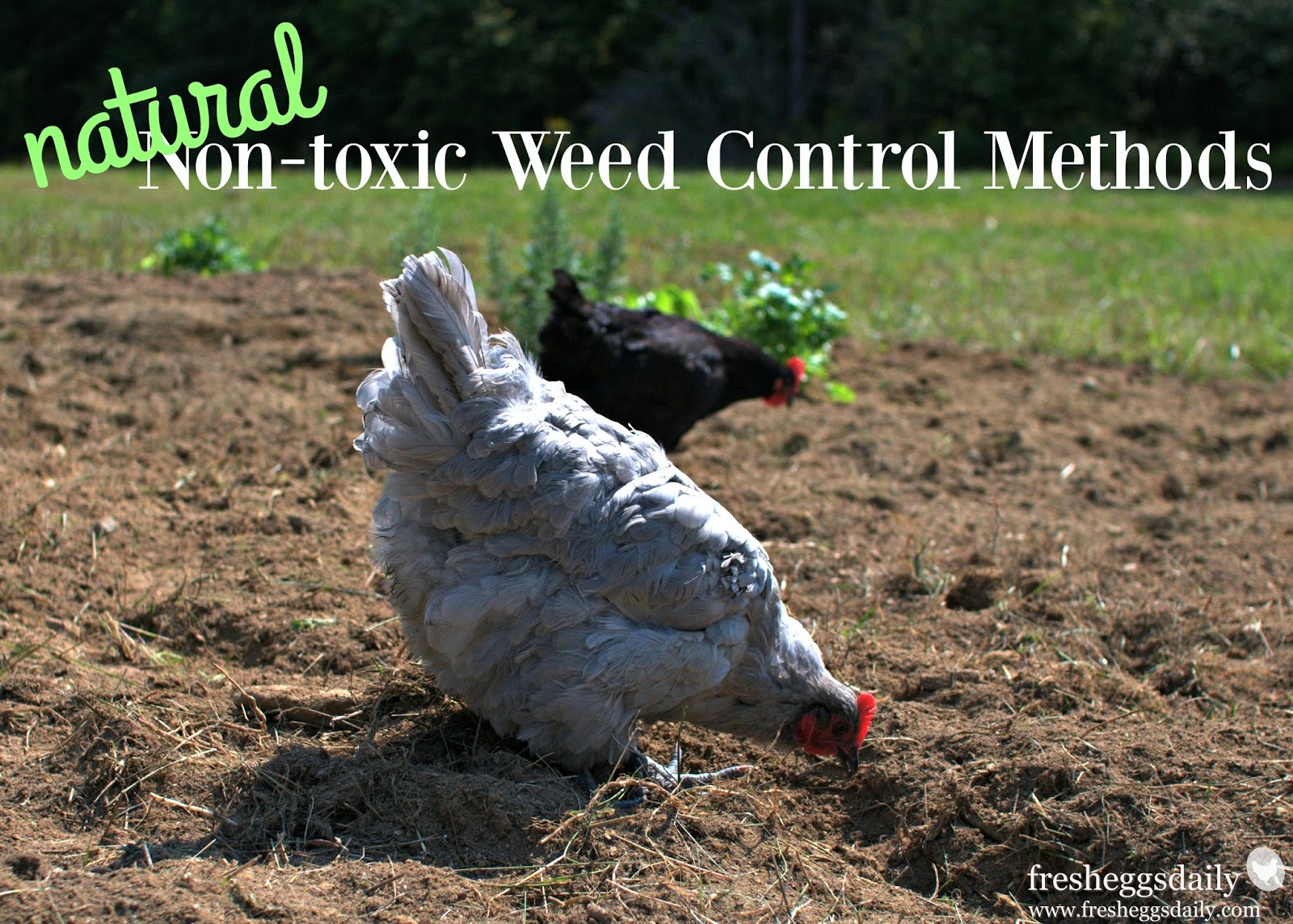 7 natural non toxic weed control methods for a chicken friendly
