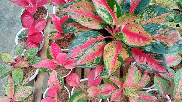 merawat tanaman aglaonema