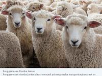 Penggemukan Domba Jantan