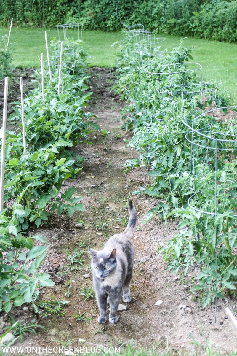 Tomato plants in the garden | On The Creek Blog