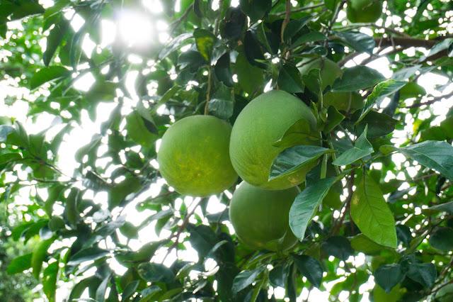 Green fruit in the sun