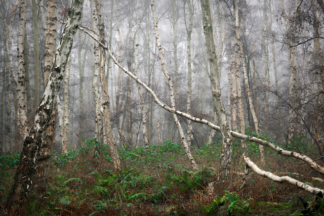 A collection of trees in the mist with ferns on the ground at Holme Fen