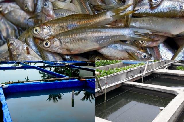 Cara Budidaya Ikan Wader di Kolam, Pasti Berhasil