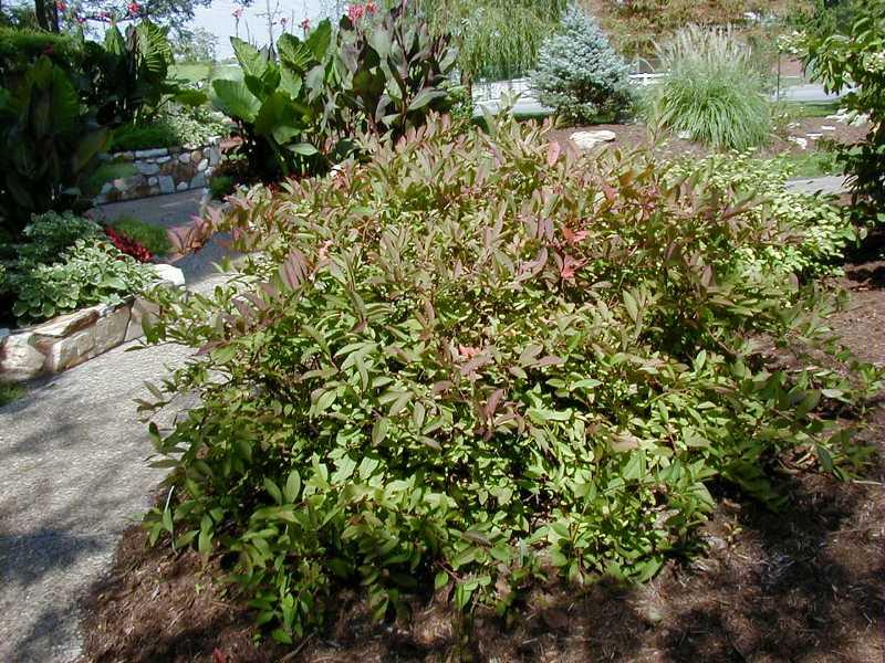 Finding My Garden A Plant I Fancy Itea Virginica Henry S Garnet