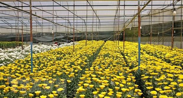Một vườn cúc tại Đà Lạt. (Ảnh: Nguyễn Dũng/TTXVN)