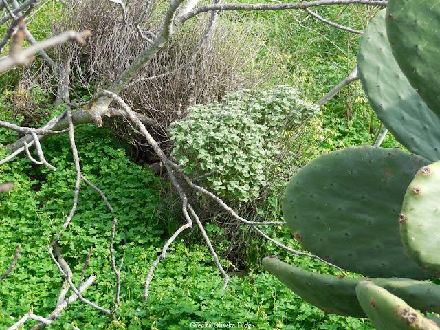 zielona koniczyna, lafano, kaktus fragosikia