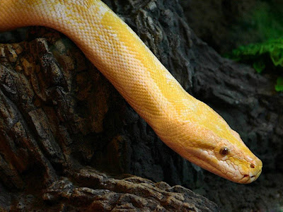 Reptiles Snake Normal Resolution HD Wallpaper 6