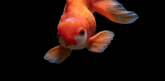 Ikan Mas Koki - IkanHiasku