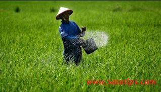 cara memupuk padi