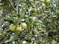 Wisata Agrowisata Petik Apel