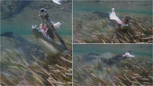 Crocodile footage munching