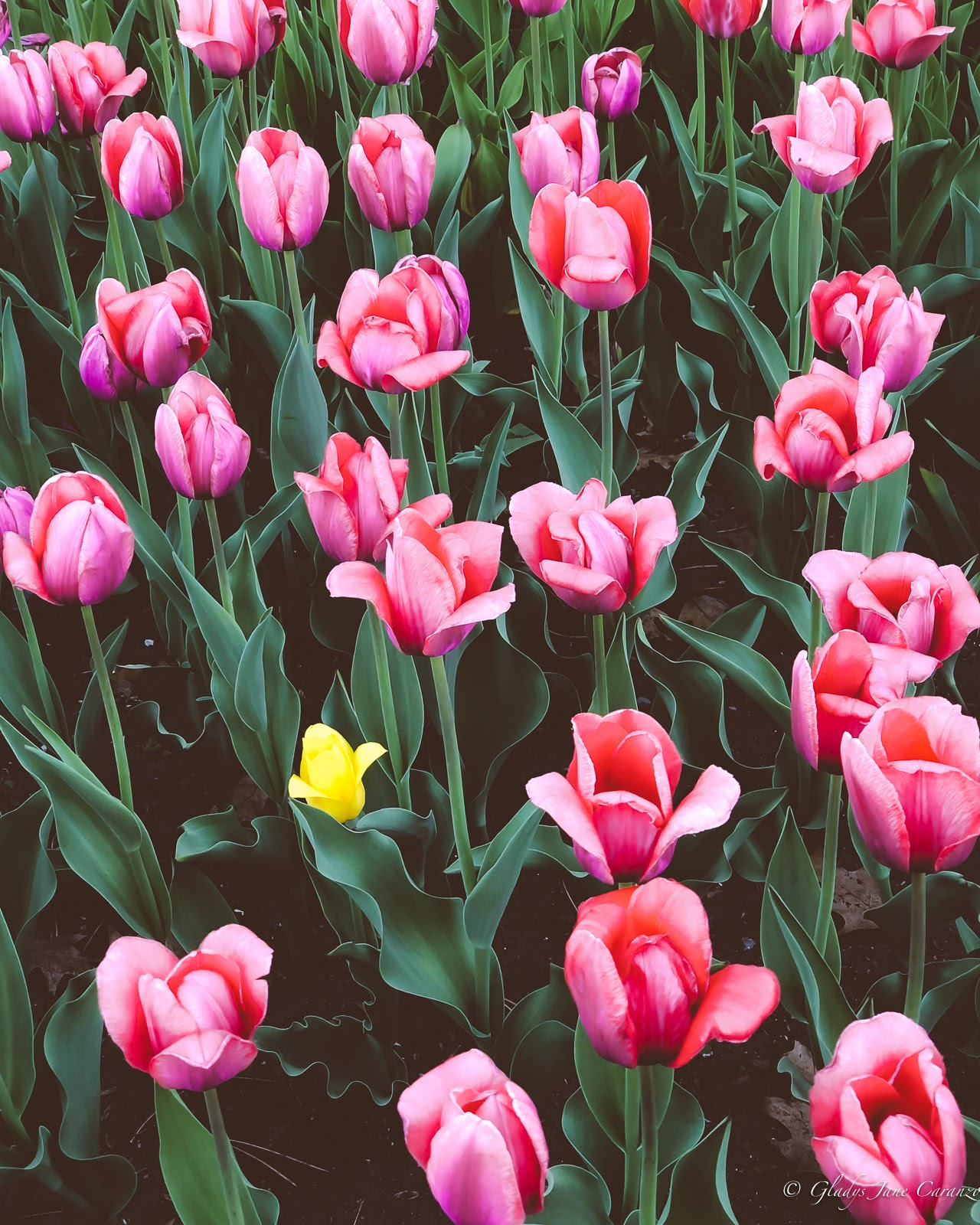 Tulip Festival: Things to Do in Ottawa, Ontario, Canada