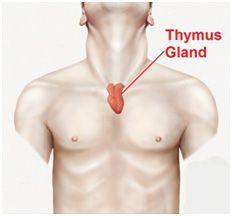 glândula timo