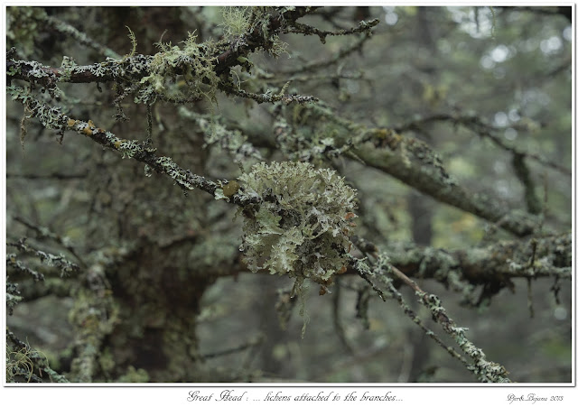 Great Head: ... lichens attached to the branches...