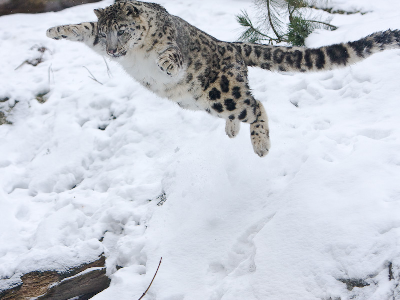 Snow Leopards Jumping | www.imgkid.com - The Image Kid Has It!