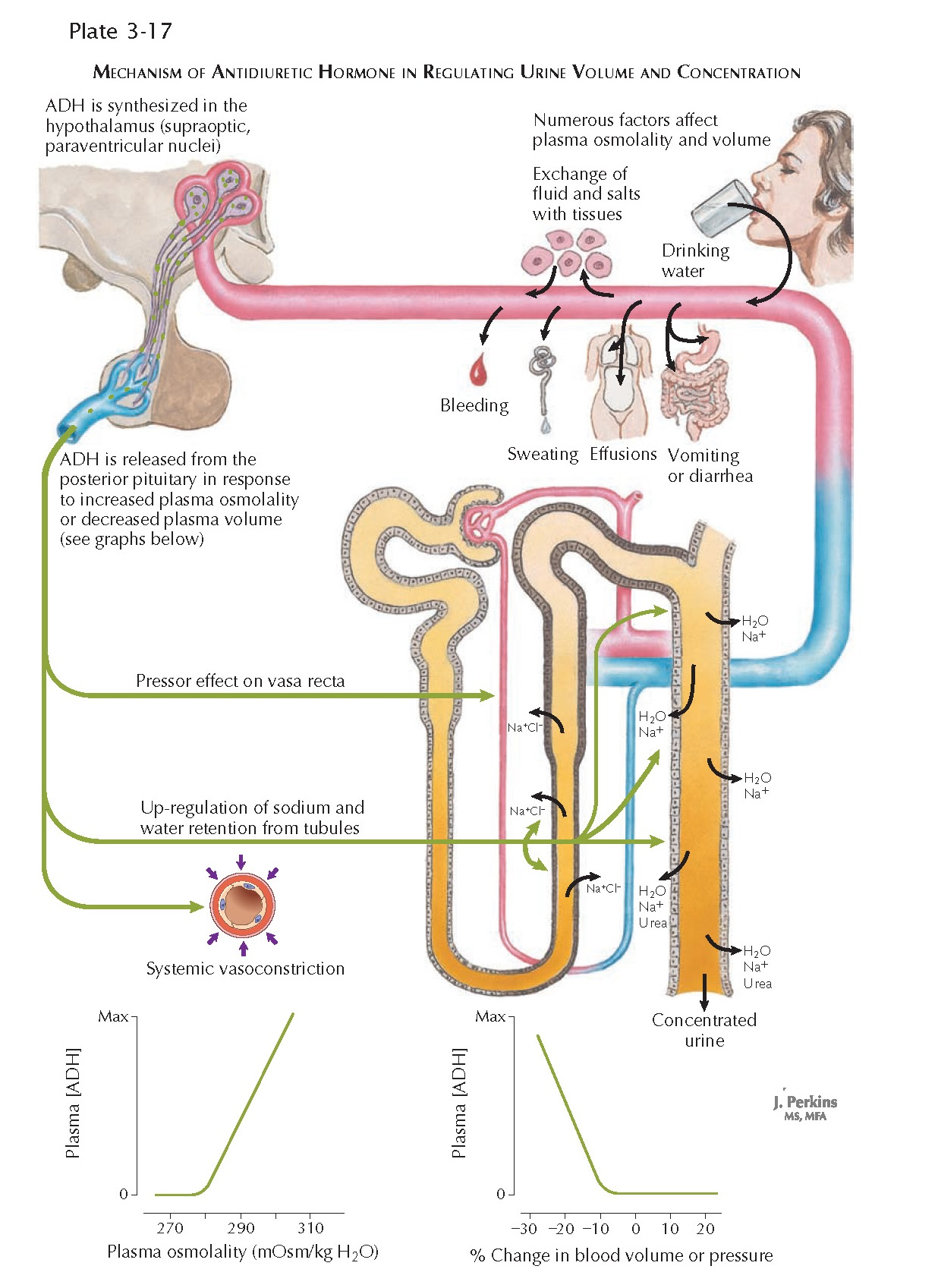 MECHANISM OF ANTIDIURETIC HORMONE IN REGULATING URINE VOLUME AND CONCENTRATION