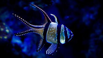 Gambar Cardinalfish
