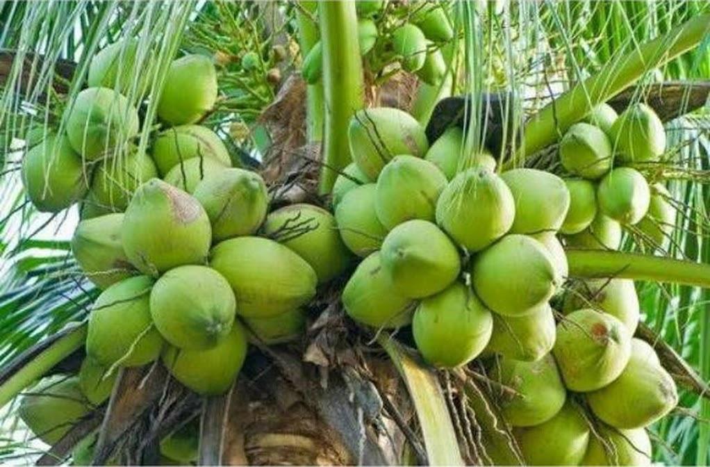 Bibit kelapa kopyor asli Kalimantan Selatan